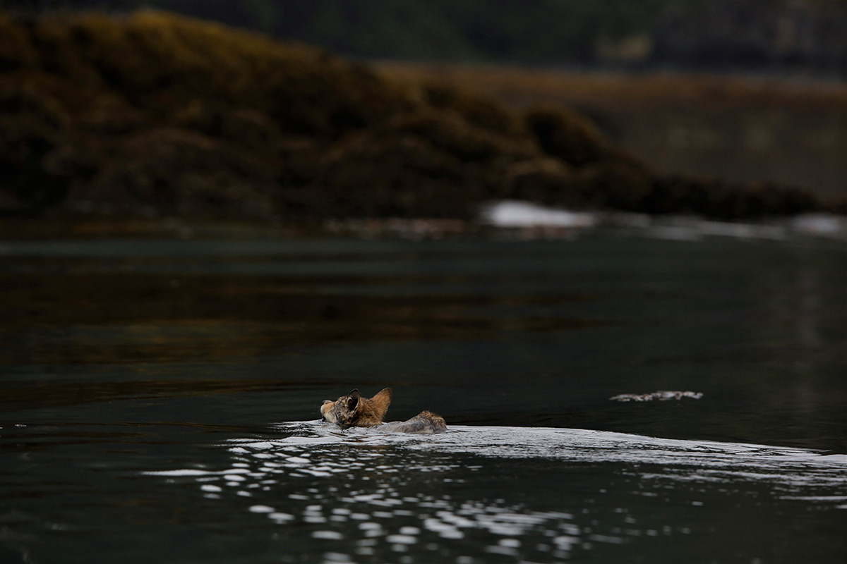 Wolf pup swimming